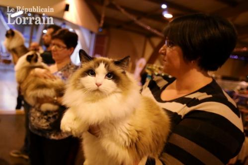 Lors du salon du chat les visiteurs pourront admirer un grand nombre de races felines photo archives rl thierry sanchis 1571650224